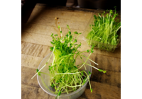 De ce sa consumam vlastari si seminte germinate
