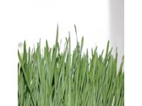 Cum se consuma iarba de grau