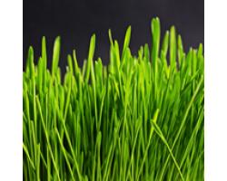 De ce sa consumam iarba de grau